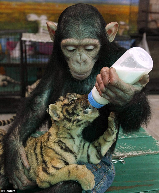 Monyet ! merawat bayi HARIMAU ...