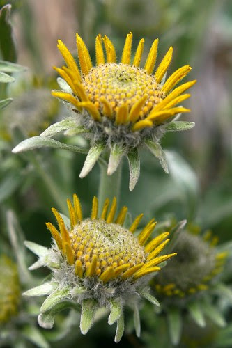 new-balsamroot