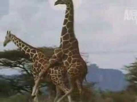 Animals Mating Videos: Giraffe Mating Video
