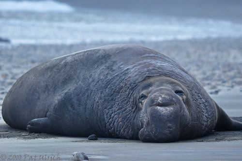 Elephant seal at dusk