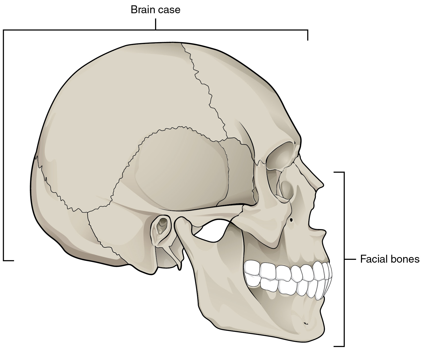 Image result for images skull bone