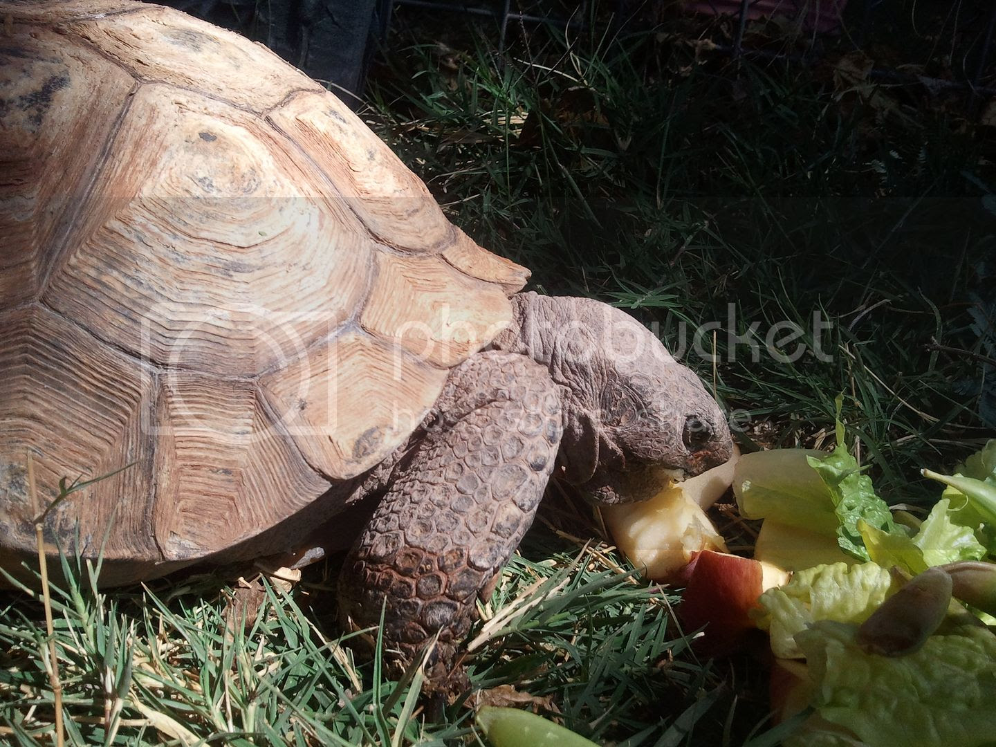 photo Large Desert Tortoise 2.jpg