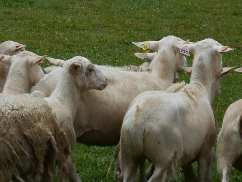 sheep (4)