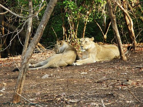 Lioness 3