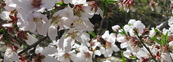 Αμυγδαλιά (Prunus dulcis)