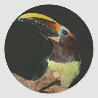 Black-necked aracari Toucan