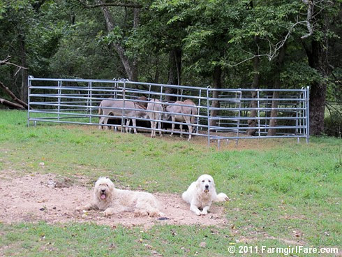 Donkeyland guard dogs 2 - FarmgirlFare.com