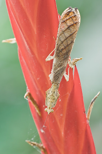 Mantis: Parablepharis kuhlii.....IMG_3775 copy