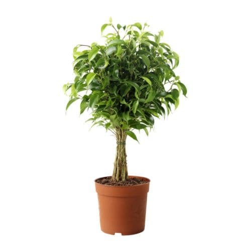 http://www.ikea.com/gb/en/images/products/ficus-benjamina-natasja-potted-plant__67443_PE181284_S4.JPG