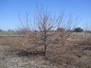 Another Fruit Tree Before Pruning