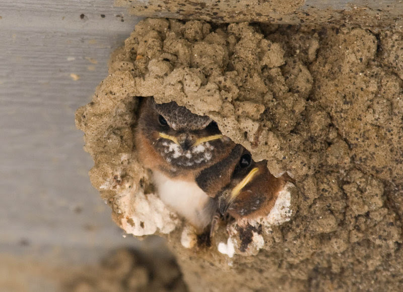 Cliff Swallow nestlings