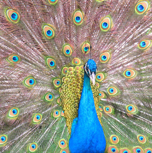 peacock friend