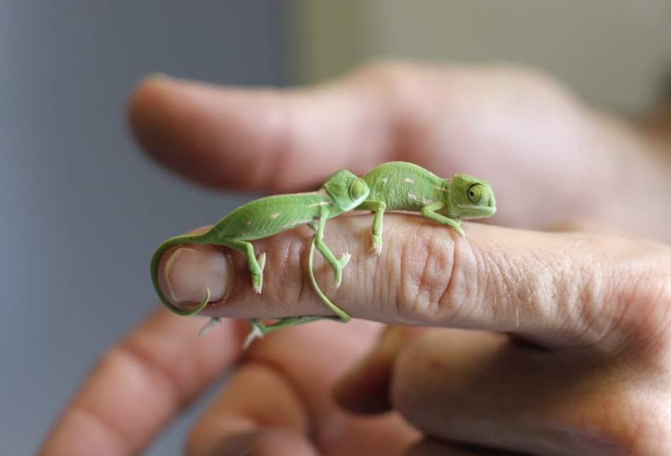Crías de camaleón