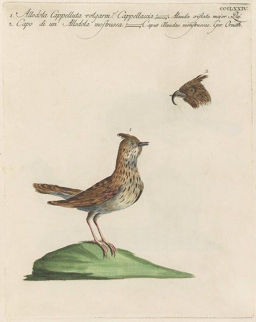 engraving of a skylark and the head of another skylark species