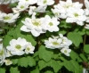 Show product details for Anemonella thalictroides Snowflake
