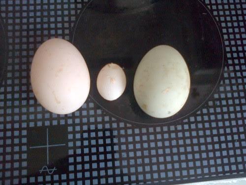 duck eggs Apr 13