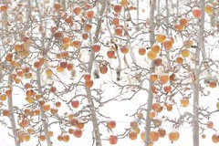 winter-orchard-apples