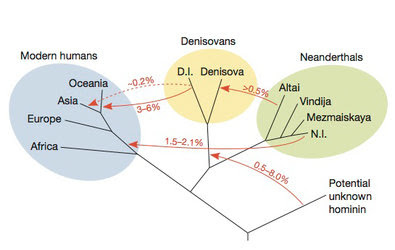 A new study of ancient DNA indicates that modern humans branched off from ancestors of Neanderthals and Denisovans around 600,000 years ago. Later, interbreeding moved DNA between the branches. The percentages show how much DNA in a genome arrived through interbreeding. For example, people in Oceana have 3 to 6 percent Denisovan DNA.