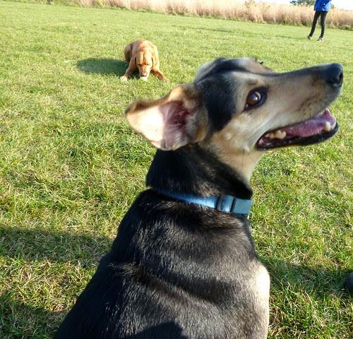 Shepherd/Beagle