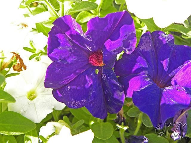 DSCN1764 Petunias