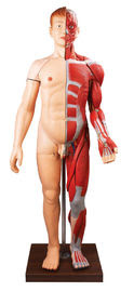 Insan Anatomisi Modeli Satış In Sayfa 3 Kalite Insan Anatomisi