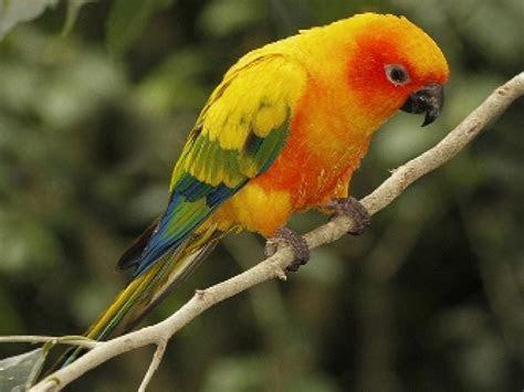 HD Sun Conure Parrots Wallpaper   Download Free   140498