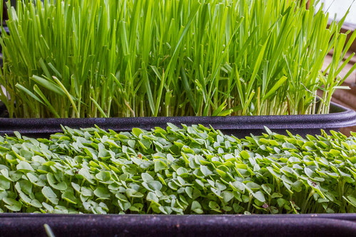 Chia Microgreens and Wheatgrass