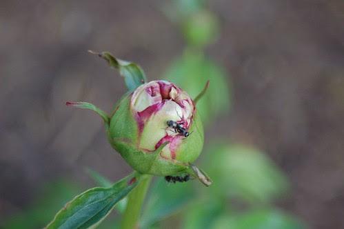 Ant on my peony