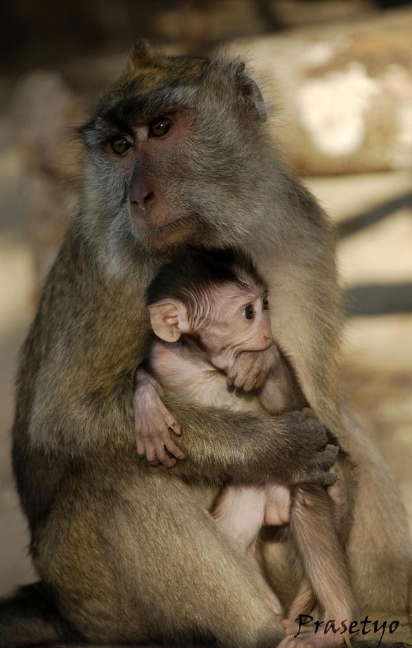 Kontol Monyet Bokep  Bokep Indonesia
