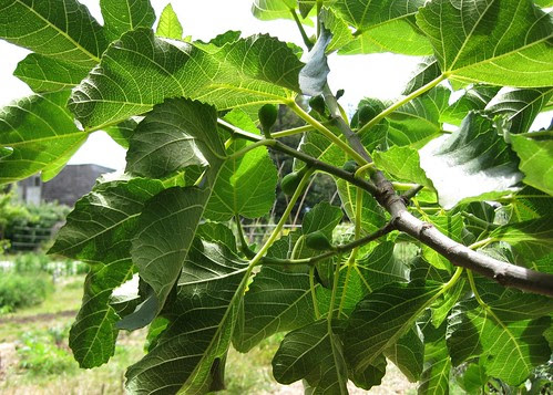 Fig tree growing in the Edible Schoolyard by Eve Fox, Garden of Eating blog
