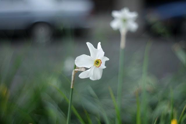 daffodil, o'bryant square