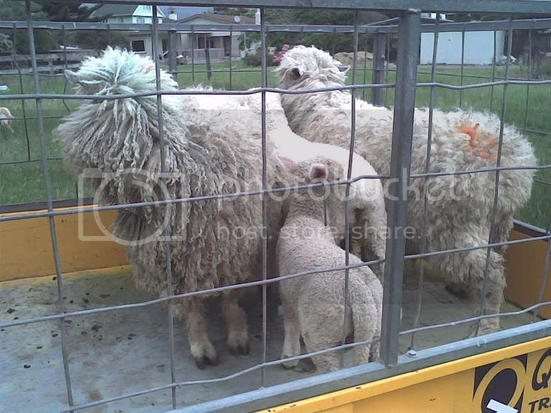 The new sheep!-3