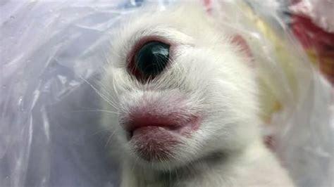 Küklopsz cica született Szecsuanban   Pekingi Kacsa