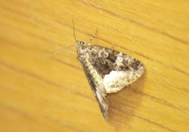 Marbled White Spot moth DSC_4087