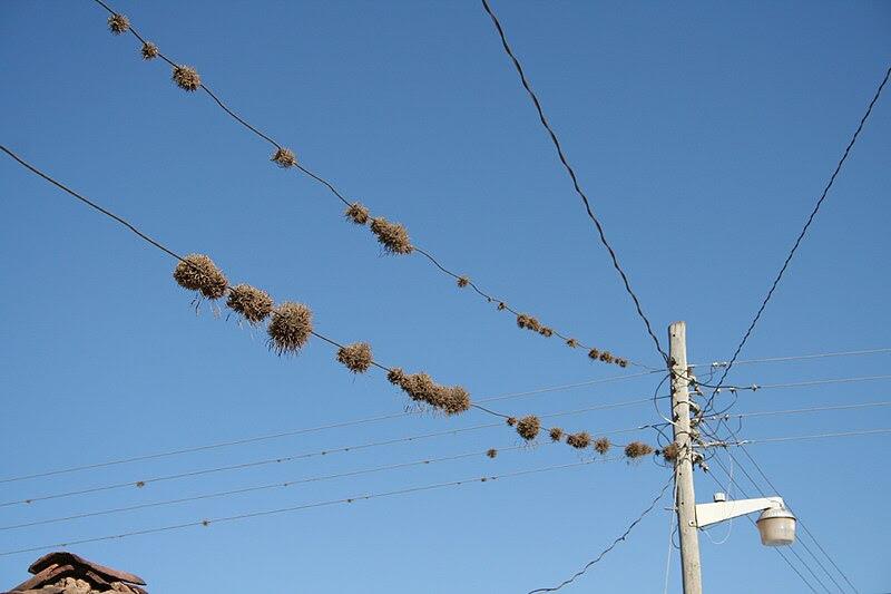 File:Tillandsia sp. telephone line (codiferous).jpg