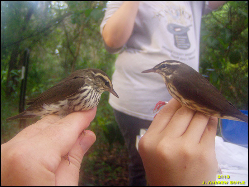 Northern and Louisiana Waterthrush