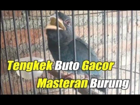 Burung Tengkek Buto Gacor Masteran Burung Cucak Ijo