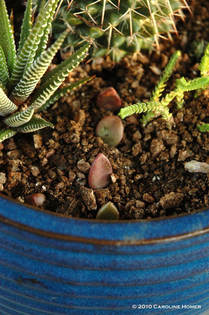 Ghost plant seedlings