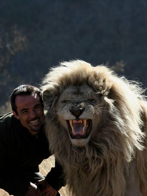 Оскал льва. Фото