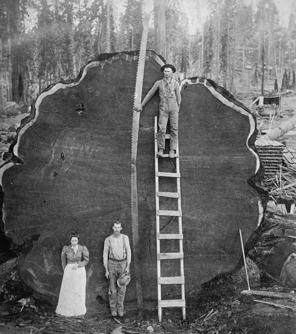 Perierga.gr - Ο «πλανητάρχης» των δέντρων