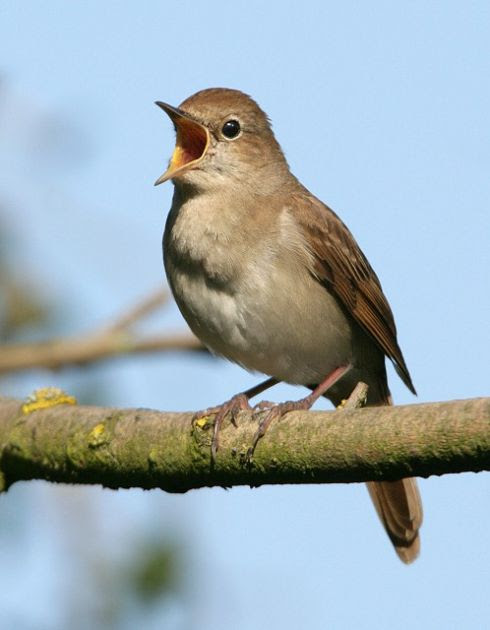 http://nightingales.files.wordpress.com/2010/06/nightingale_nigelblake.jpg