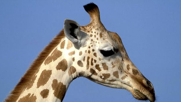 Giraffe (NPL / C. Courteau)