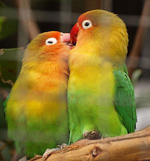 Lovebird Birahi