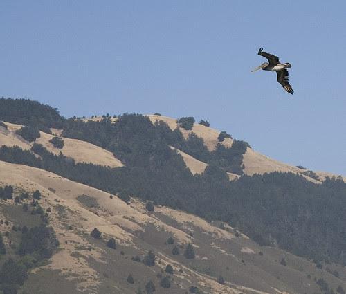 Lone pelican by edwinsail.