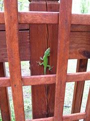 Lizard on the deck