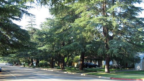 114 Deodar Trees