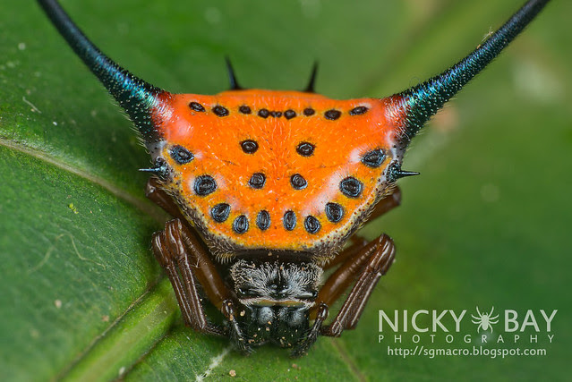 Long Horned Spiny Orb Weaver (Macracantha arcuata) - DSC_9793