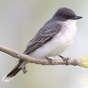 Eastern Kingbird -- Humber Bay Park, Toronto, ...