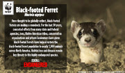 Black-footed ferret e-card