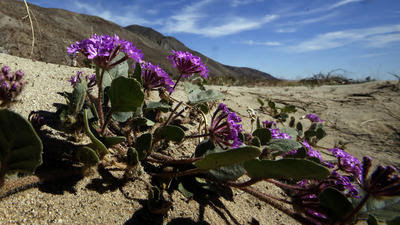 Want to track the Anza-Borrego bloom yourself? Here's a list of resources